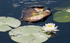 Graceful lily pad decay<br /> Sis