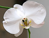 Orchid - Up Close and Personal - Gloria Fine<br /> (Flash Used SB600)