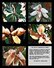 The Life of a Magnolia Flower<br /> Gloria Fine