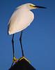 Egret At Jupiter Inlet<br /> Mike Packman