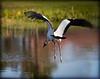Woodstork In Flight<br /> Sandy Friedkin