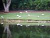 Ibis Snow Birds<br /> Charley Finklestein