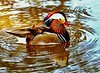 Asian Wood Duck