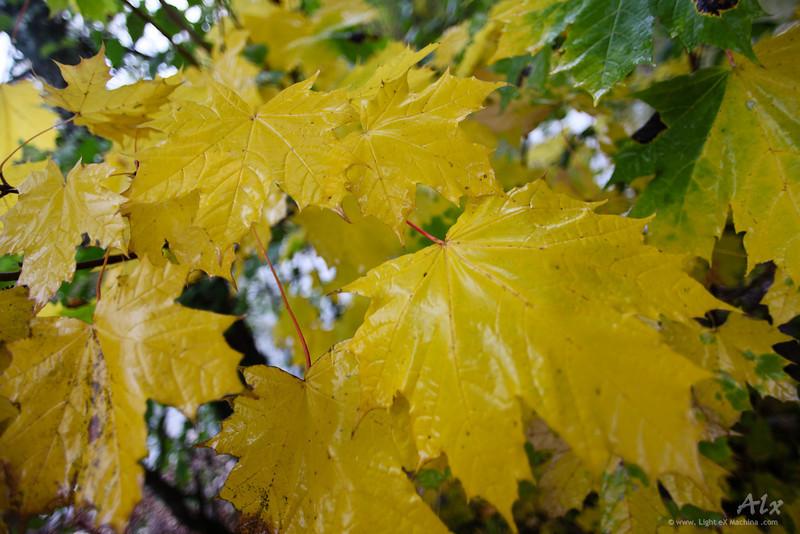 Les feuilles jaunes