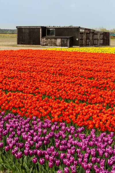 Champs de tulipes - Hollande  © Light eX Machina, 2014. Tous droits réservés.