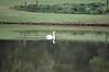 Swan on pond on 13th hole.