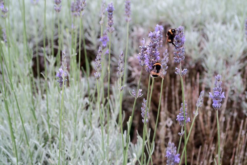 jersey-lavender
