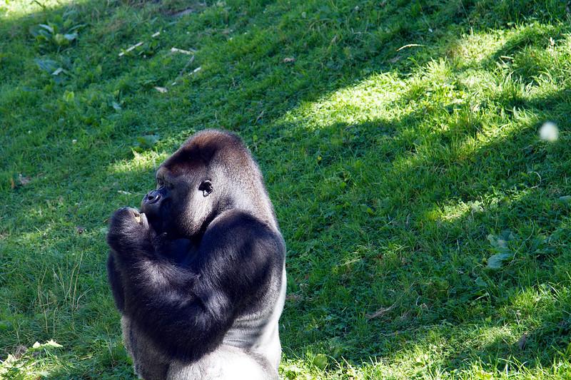 gorilla-durrell