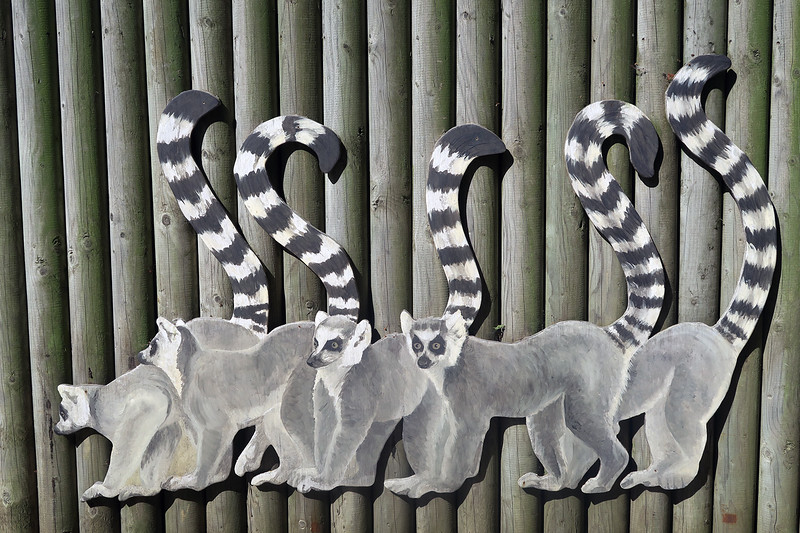 durrell-lemur
