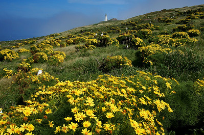 Anacapa Island, lighthouse and giant coreopsis, March 2010. ac_0310_2236