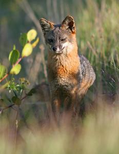 Island Fox, Santa Cruz Island. 0407_2975