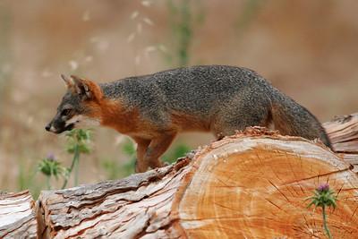 Island Fox, Santa Cruz Island 0710_6932