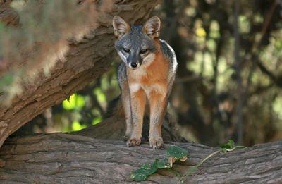 Island Fox, Santa Cruz Island. wsc11071310