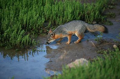 Island Fox, Santa Cruz island sc_0510_4963