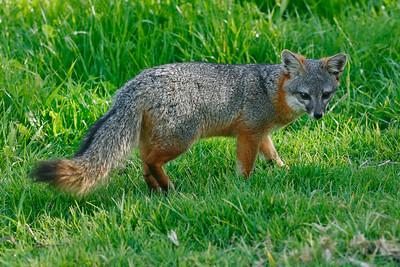 Island Fox, Santa Cruz Island. 0311_04873