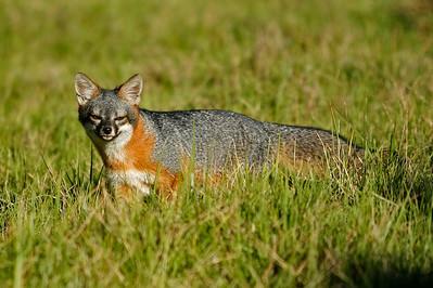 Island Fox, Santa Cruz Island. 11_10_502