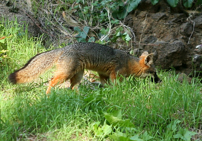 Island Fox, Santa Cruz Island. 0407_2638