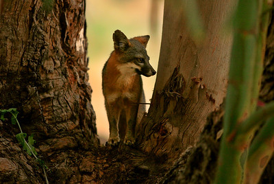 Island Fox Santa Cruz island 0710_9579