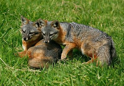 Island Fox, Santa Cruz Island. 0311_0708