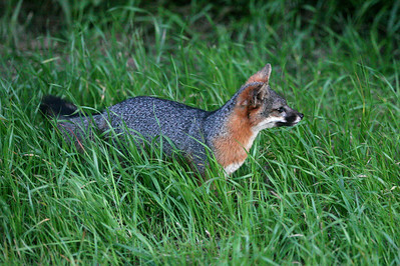 Island Fox, Santa Cruz Island sc0510_4382