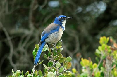 Scrub Jay, Pelican Trail, Santa Cruz Island. p0209_7730b