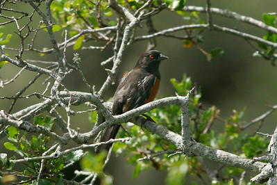 Spotted Towhee, Pelican trail. 0411_8820