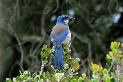 Scrub jay, Pelican trail. p0209_7727r2