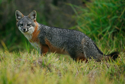 Island Fox, Santa Cruz Island, January 2, 2012. 0112_1368