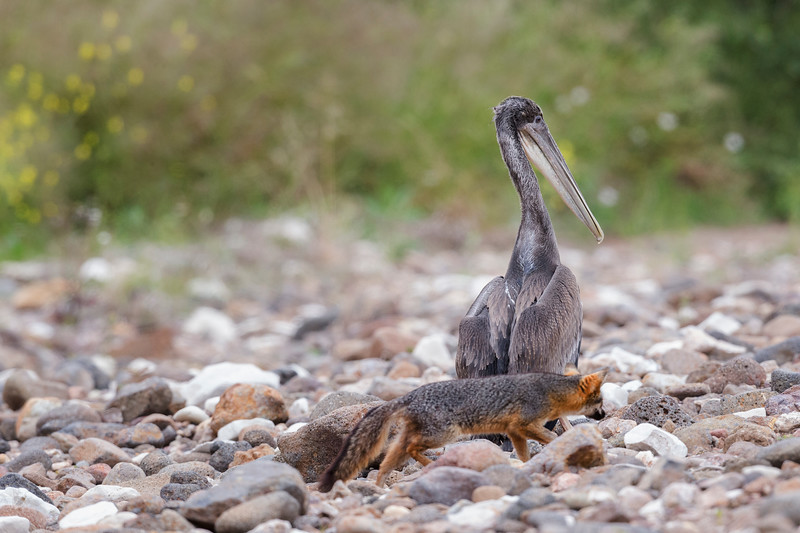 An Island fox checking out a Pelican