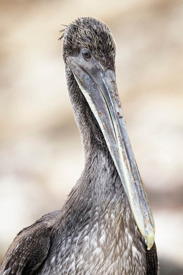 Portrait of a Brown Pelican