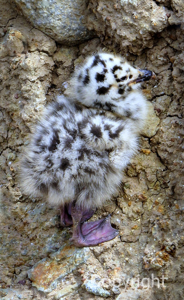 Seagull chick