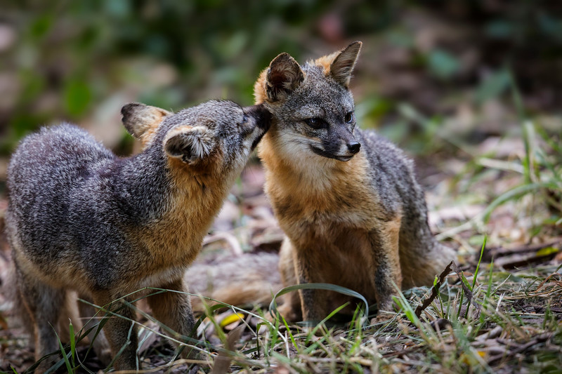 A pair of Island foxes grooming each other