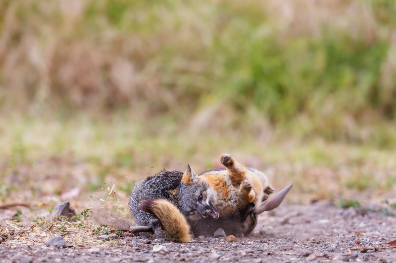 Island Foxes having a territorial dispute