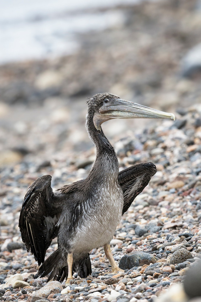 A brown pelican shaking off it's feathers