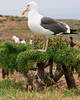 Over 10,000 western gulls gather for nesting on Anacapa during the spring and summer.