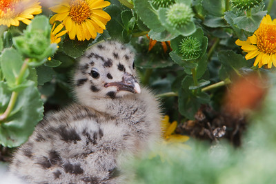 Over 10,000 western gulls gather for nesting on Anacapa Island during the spring and summer months.