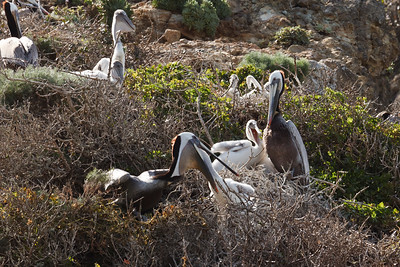 Nesting California Brown Pelicans, West Anacapa Island