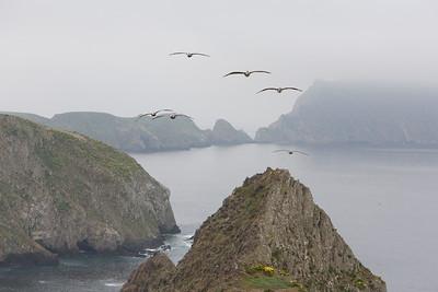 California brown pelicans soar near Inspiration Point