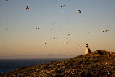 Western gulls soar over the lighthouse at sunset