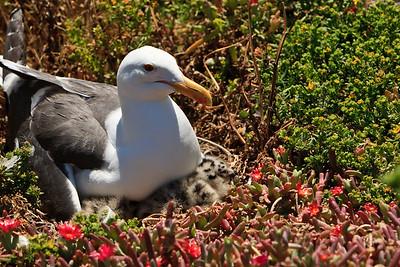 Western gulls, chicks, eggs, Anacapa Island