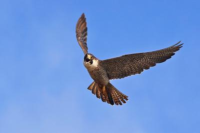 Peregrine falcon, Santa Rosa Island