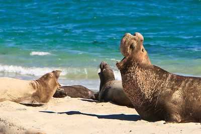 Northern elephant seals, San Miguel Island