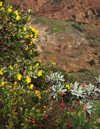 Northern island bush poppy