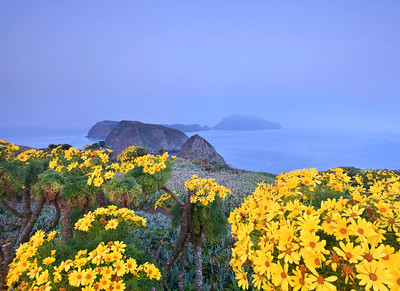 Giant coreopsis at Inspiration Point, Anacapa Island
