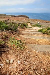 IMG_0691 Trail with gull nest, Anacapa Island