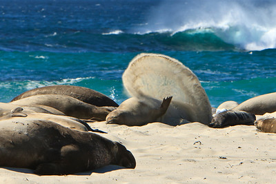 5S7W6917  Northern elephant seals at Crook Point, SMI