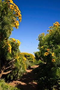 IMG_5293a Trail through Coreopsis, Anacapa