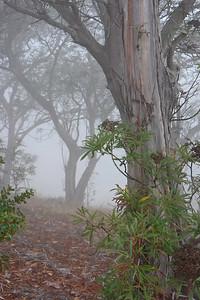 5s7w4900 Ironwood trees in fog, SCI.