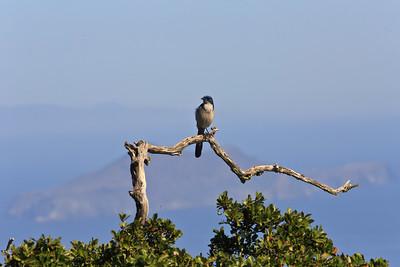 Island Scrub Jay