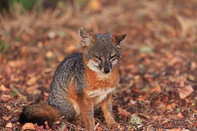 Santa Cruz Island fox